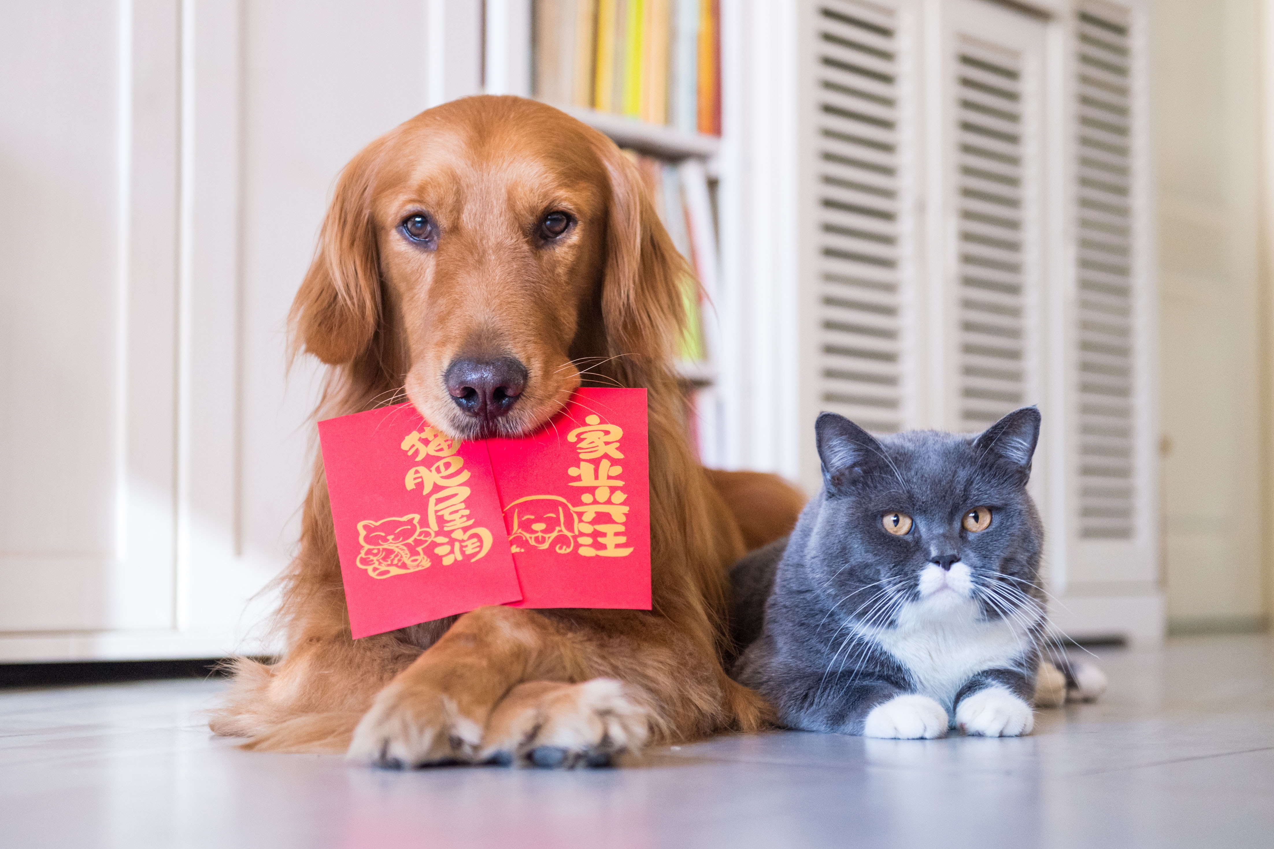 A dog holding a red envelope of money in its mouth for Chinese New Year.
