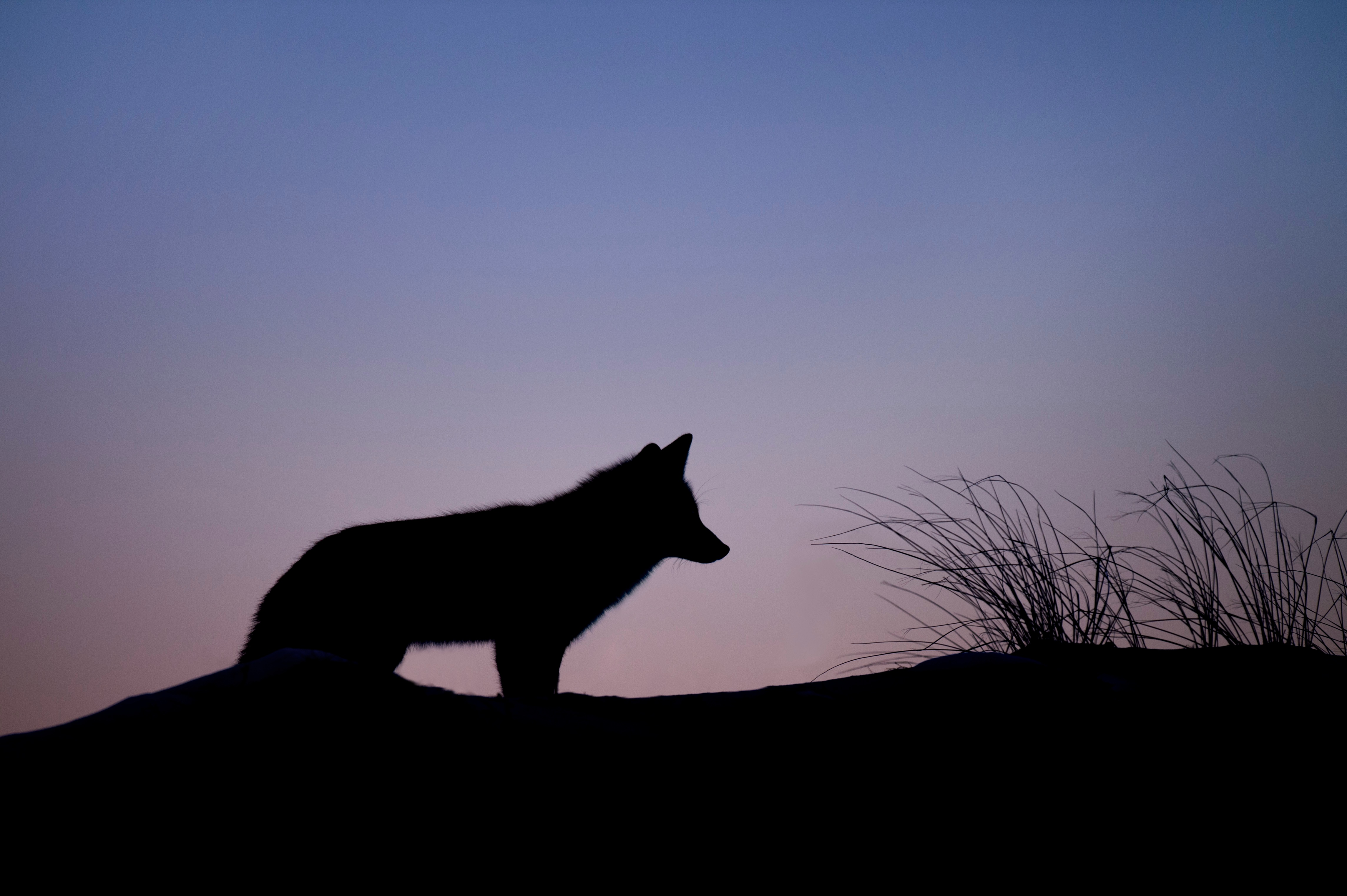 Wolf howling.